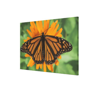Monarch butterfly (Danaus plexippus) on pot Canvas Print