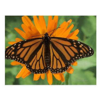 Monarch butterfly (Danaus plexippus) on pot Postcard
