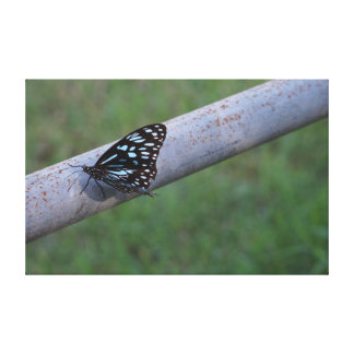 MONARCH BUTTERFLY IN RURAL QUEENSLAND AUSTRALIA STRETCHED CANVAS PRINT