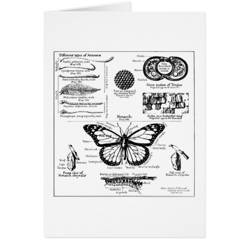 Monarch Butterfly Information Greeting Card