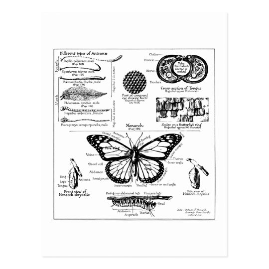 Monarch Butterfly Information Postcard