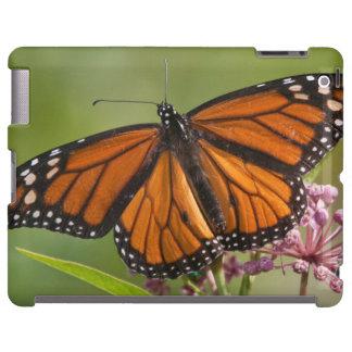 Monarch Butterfly male on Swamp Milkweed