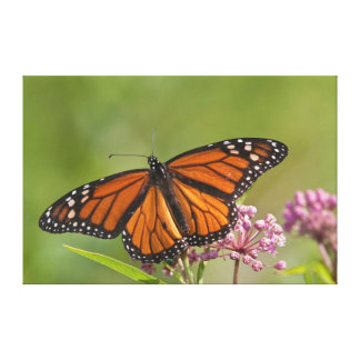 Monarch Butterfly male on Swamp Milkweed Gallery Wrap Canvas