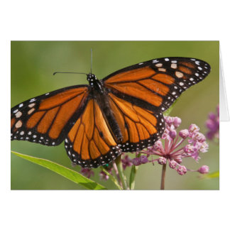Monarch Butterfly male on Swamp Milkweed Greeting Card