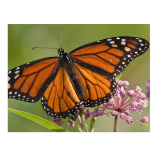 Monarch Butterfly male on Swamp Milkweed Post Cards