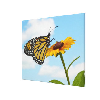 Monarch Butterfly on a Black Eyed Susan Stretched Canvas Print