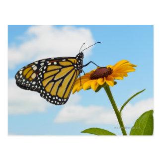 Monarch Butterfly on a Black Eyed Susan Postcard