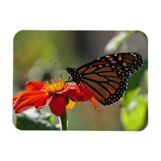 Monarch Butterfly on a Mexican Sunflower Torch Magnet