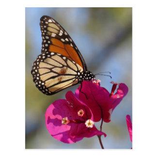 Monarch butterfly on bougainvillea blossom postcard