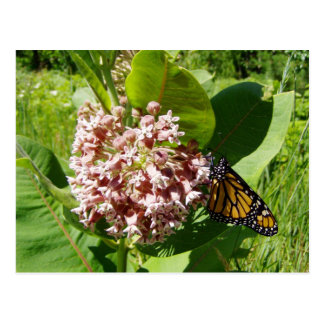 Monarch Butterfly on Milkweed Photo Postcards