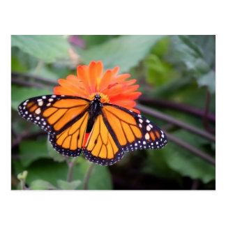 Monarch butterfly on orange flower postcard