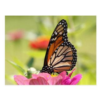 Monarch Butterfly on Pink Flower Postcards