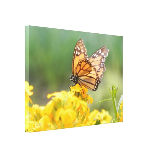 Monarch Butterfly on Siberian Wallflowers Stretched Canvas Prints