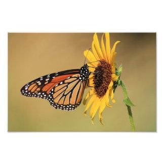 Monarch Butterfly on Sunflower Photograph