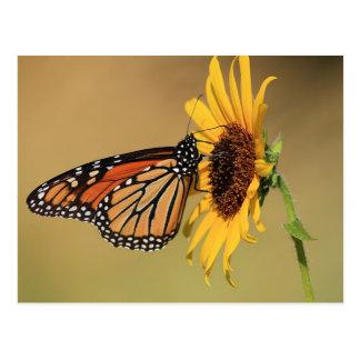 Monarch Butterfly on Sunflower Postcard