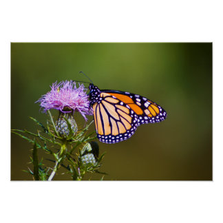 Monarch Butterfly on Thistle Poster (Semi-Gloss)