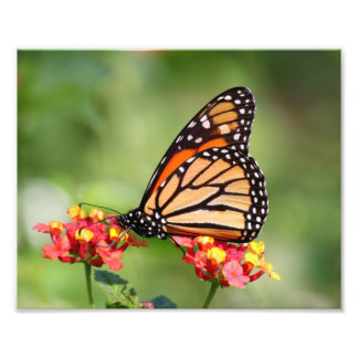 Monarch Butterfly on Two Lantana Flowers Photo