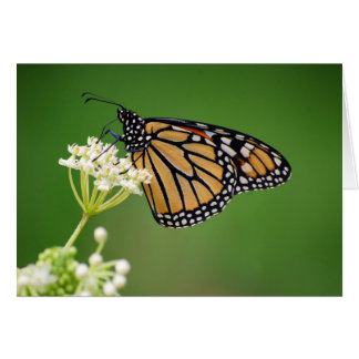 Monarch Butterfly on White Swamp Milkweed Flower C Greeting Cards