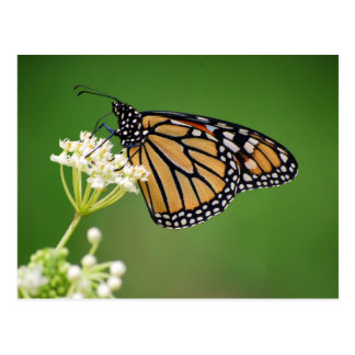 Monarch Butterfly on White Swamp Milkweed Flower Postcard