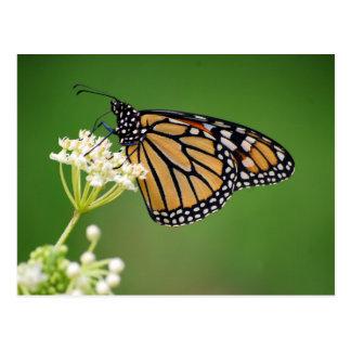 Monarch Butterfly on White Swamp Milkweed Flower Postcard