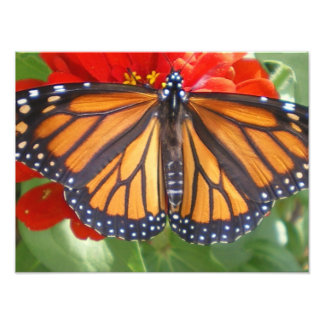 Monarch Butterfly on Zinnia Photo Print
