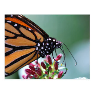 Monarch butterfly orange and black macro postcard