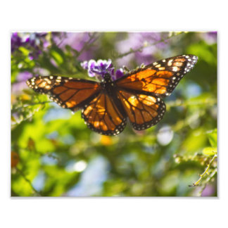 Monarch Butterfly Photographic Print