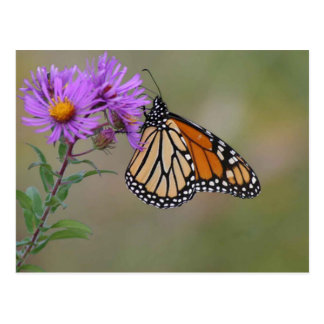 Monarch Butterfly Photographs Postcard