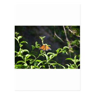 Monarch Butterfly. Postcards