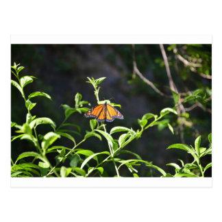 Monarch Butterfly. Postcard