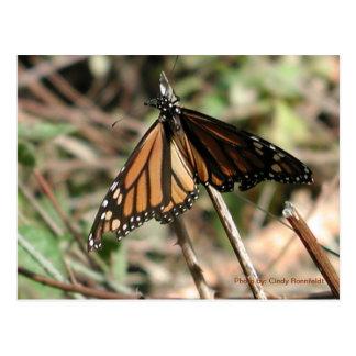 Monarch Butterfly-postcard Postcard
