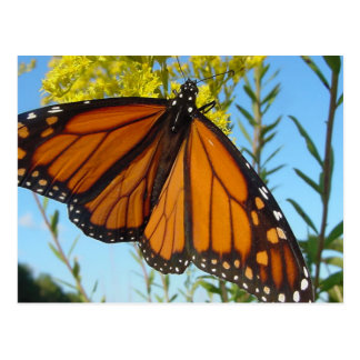 Monarch butterfly spreads his wings postcard