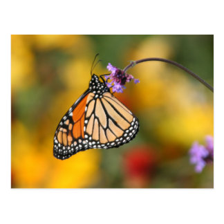 Monarch Butterfly Stops for Pollen Postcard