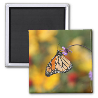 Monarch Butterfly Stops for Pollen Square Magnet
