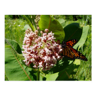 Monarch Butterfly Wings Open on Milkweed Photo Postcard