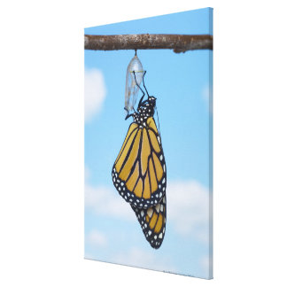 Monarch Butterfly, with Chrysalis Stretched Canvas Prints