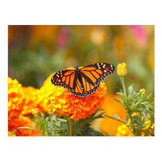 Monarch on a Marigold Postcard
