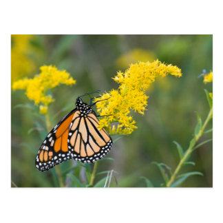 Monarch on Goldenrod Postcard