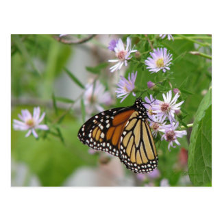 Monarch on Wild Asters Postcard