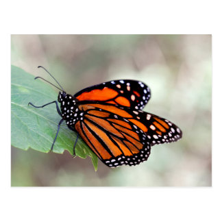 Monarch resting postcard