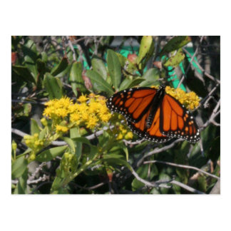 Monarch with Color Postcard