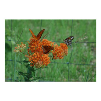 Monarchs on the Butterfly Weed Print