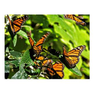 Monarchs Postcard