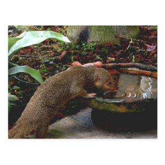 Mongoose Wildlife Happy Hour Post Cards