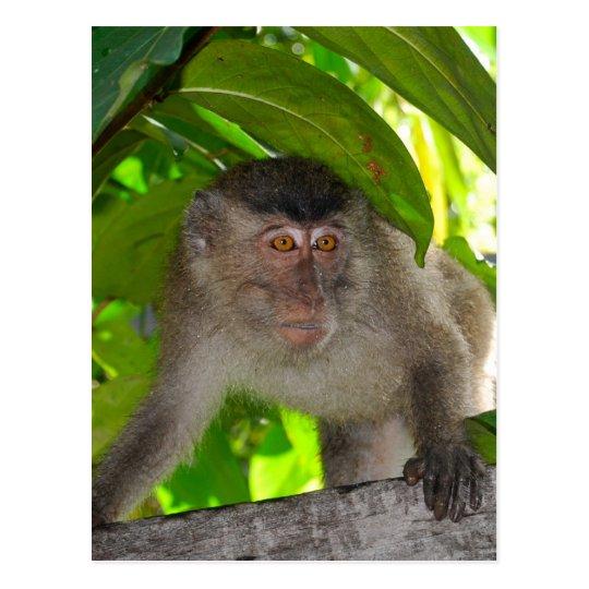 Monkey  Macaque postcard #2