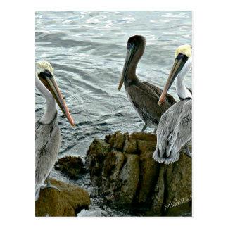 Monterey Pelicans Postcard