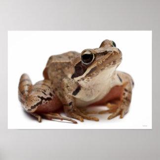 Moor Frog - Rana arvalis Poster