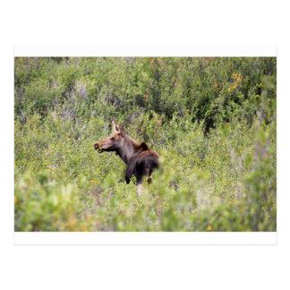 Moose 2 postcard