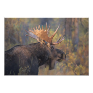 moose, Alces alces, bull in Grand Teton Photo Print