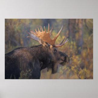 moose, Alces alces, bull in Grand Teton Print